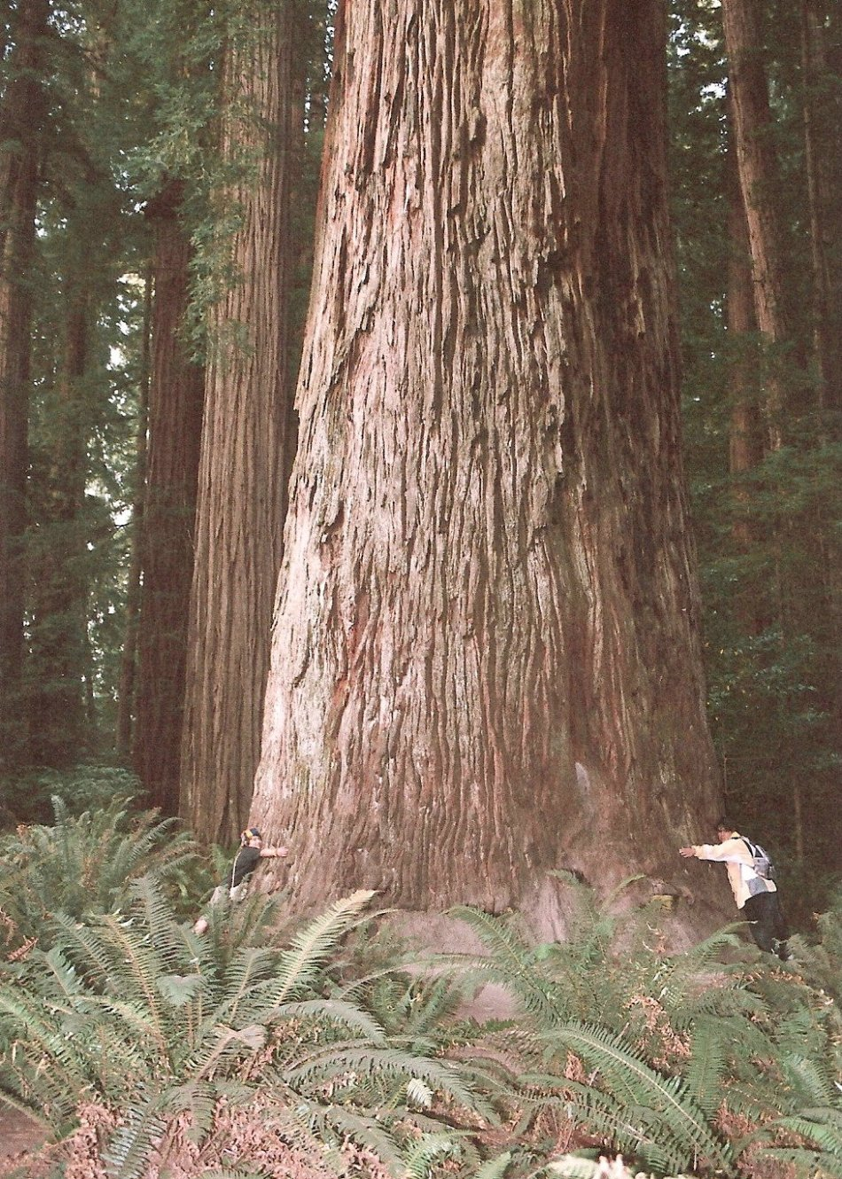 FRANKIE AND ME HUGGING A GIANT REDWOOD