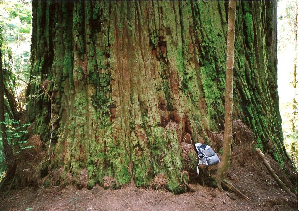 THIS IS THE BOY SCOUT TREE WITH MY BACK PACK FOR SIZE REFERENCE.