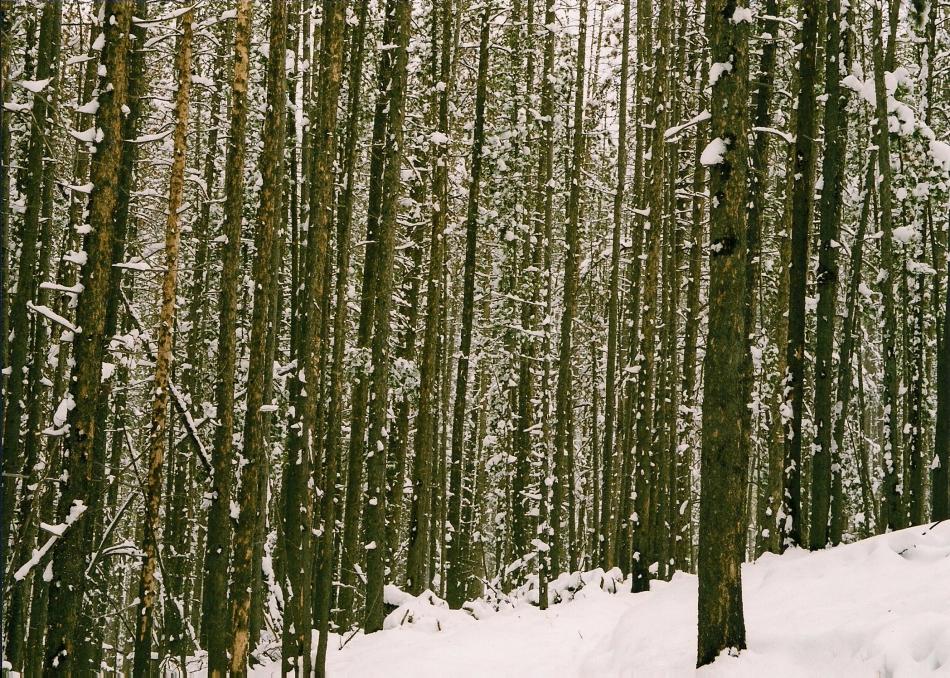 SNOWY WOODS MONTANA 3